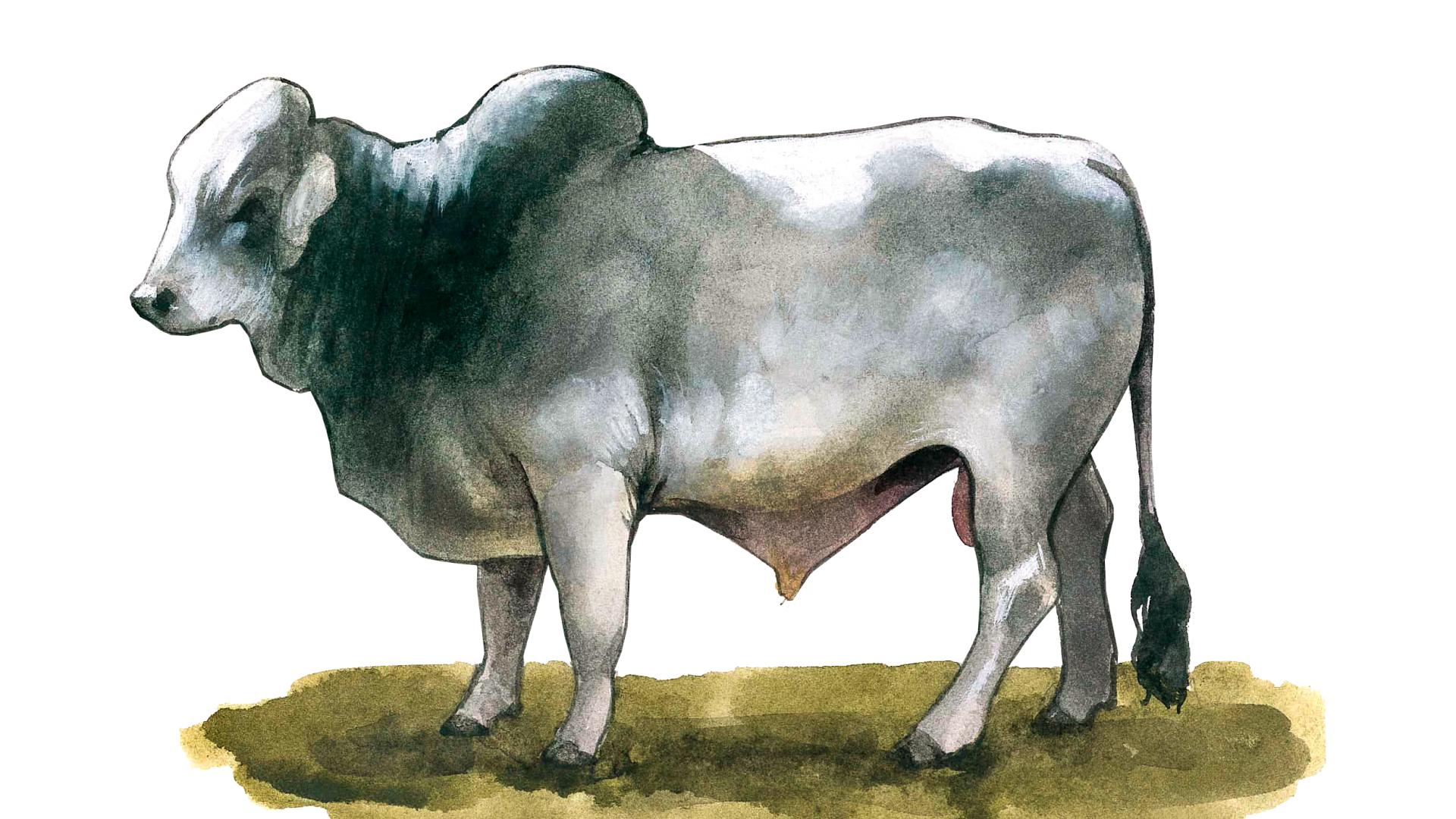 Браман - порода коров