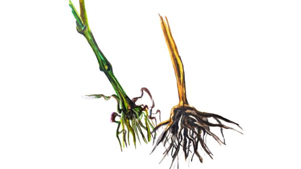 Фузариозная корневая гниль