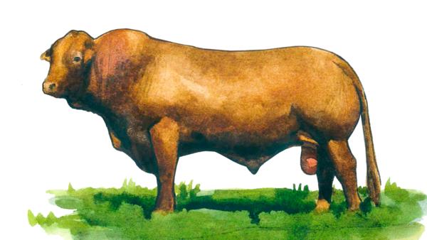 Бифмастер - порода коров