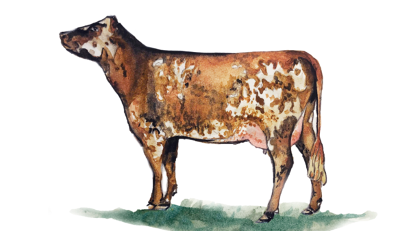 Нормандская порода коров