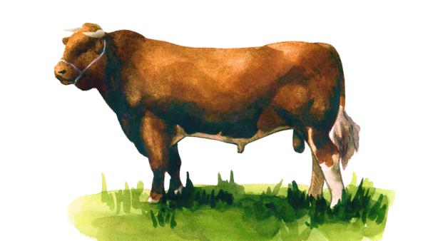 Караку - порода коров