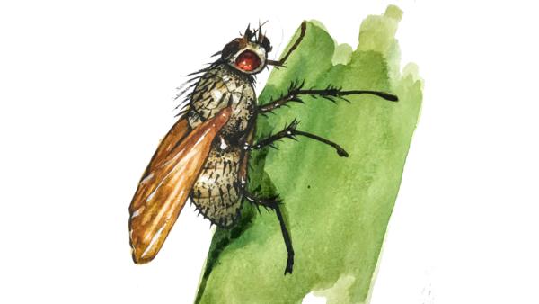 Озимая муха