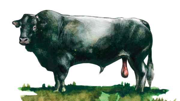 Базадез – порода коров