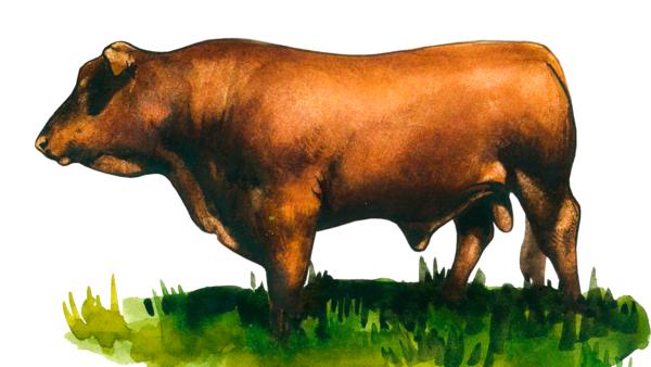 Барзона – порода коров