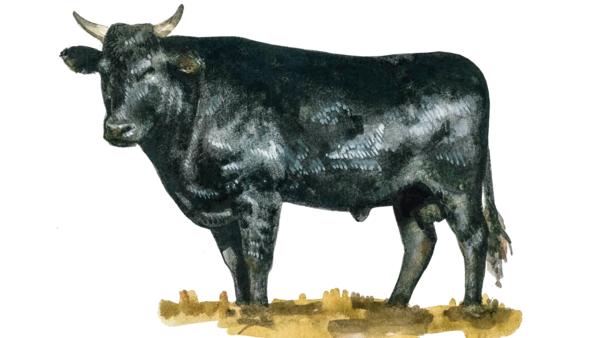 Порода коров Вагю