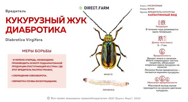 Кукурузный жук диабротика