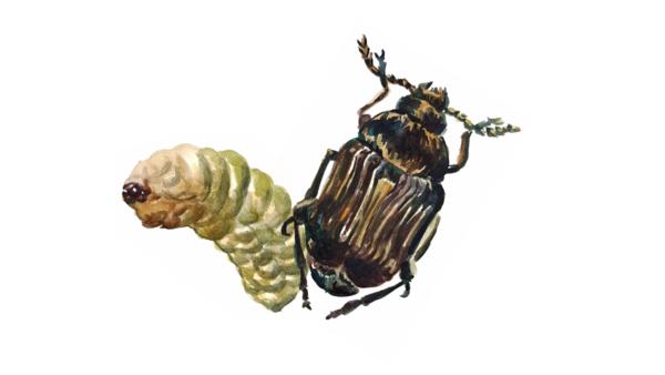 Гороховая зерновка (Брухус)