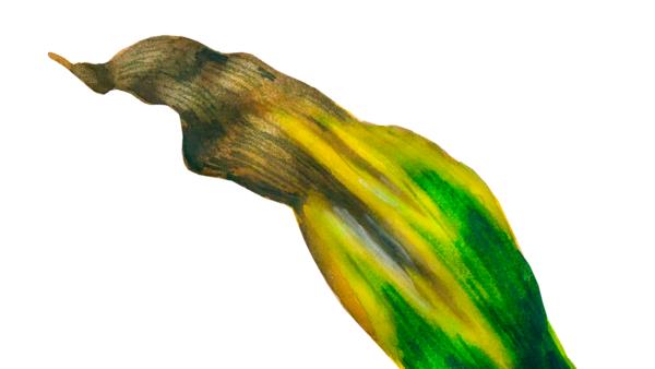 Северный гельминтоспориоз кукурузы