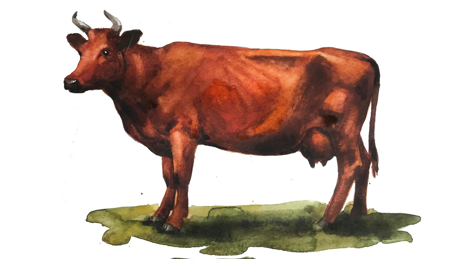 Красная горбатовская порода коров