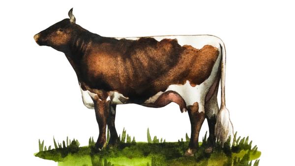 Пинцгауэрская порода коров (пинцгау)