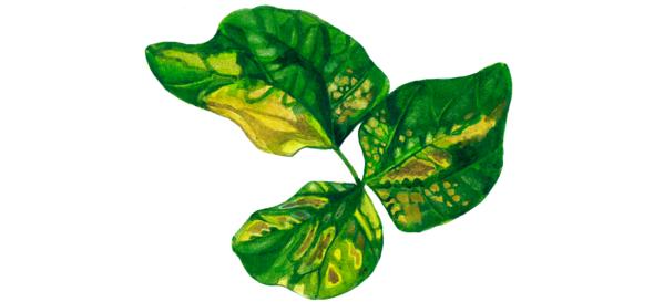 Бактериальный вилт сои Corynebacterium flaccumfaciens pv. flaccumfaciens (Hedges) Dowson.