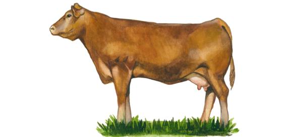 Гелбфи – порода коров
