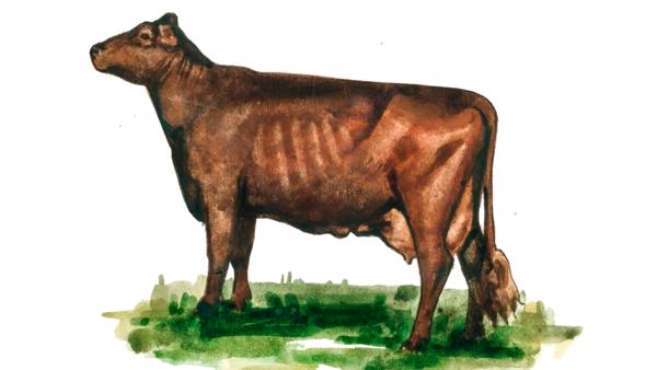 Англерская порода коров