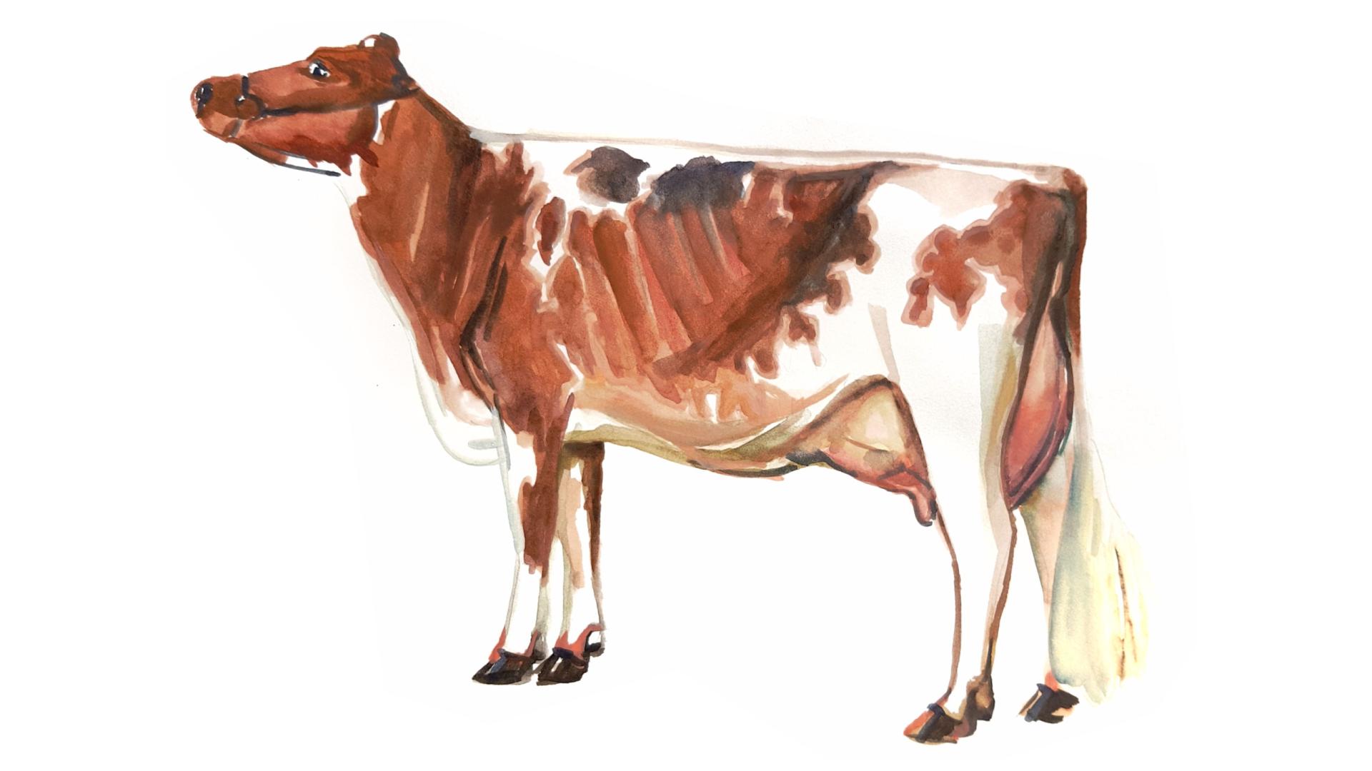 Айрширская порода коров