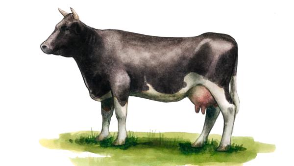 Аулиеатинская порода коров