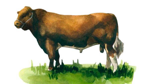 Мен-анжу – порода коров
