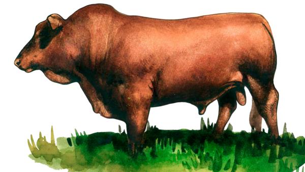 Бонсмара – порода коров