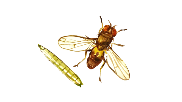 Овсяная шведская муха