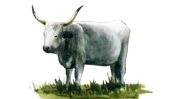 Венгерская серая порода коров