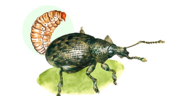 Стеблевой капустный скрытнохоботник