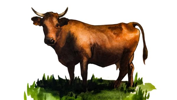 Тарантез - порода коров