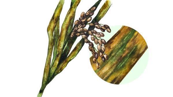 Септориоз риса