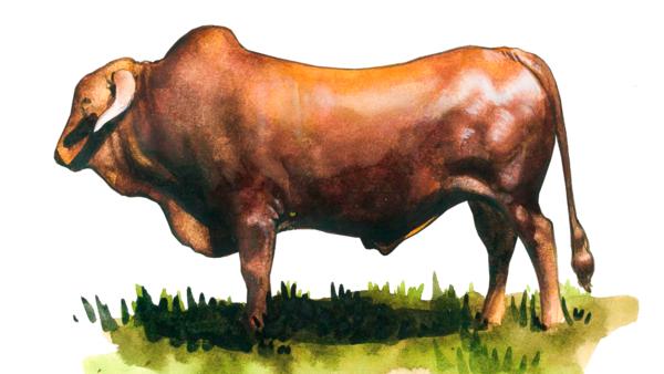 Африканер – порода коров