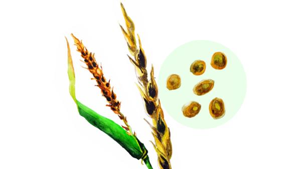 Твёрдая головня пшеницы